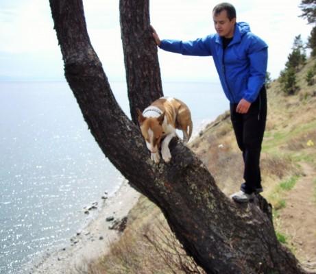 бультерьер на дереве
